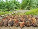 Ada Minyak Goreng Terbuat dari Larva Kumbang, Halal atau Tidak?