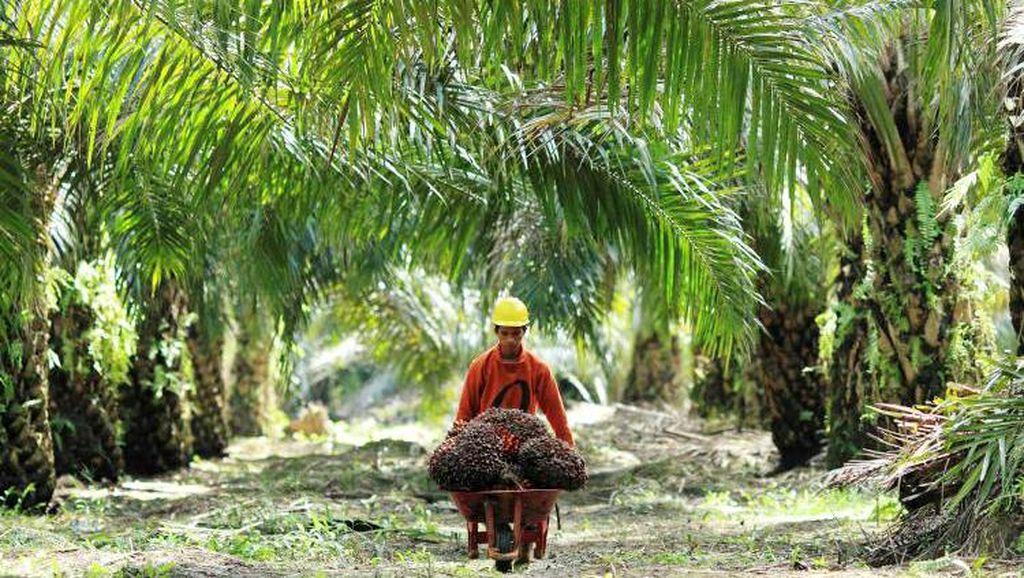 Jokowi Tanam Ulang Ribuan Ha Kebun Sawit, Ini Respons Pengusaha
