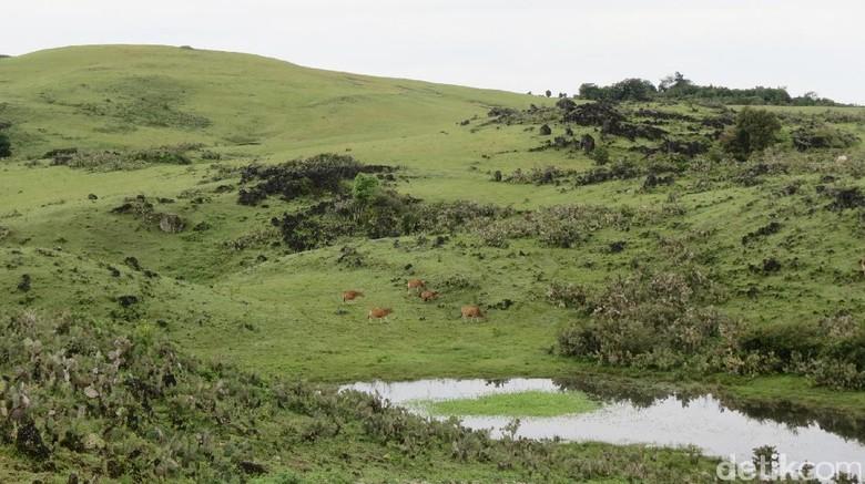 Fulan Fehan seperti padang rumput Eropa atau Australia (Fitraya/detikTravel)