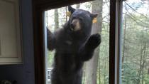 Seekor Beruang Marah Tak Dikasih Biskuit Coklat oleh Pemilik Rumah