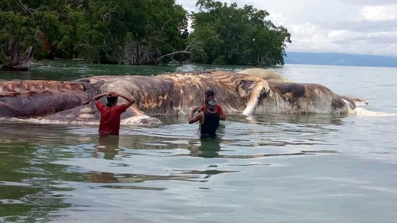 LIPI: Bangkai Paus yang Terdampar di Maluku Panjangnya 23 Meter