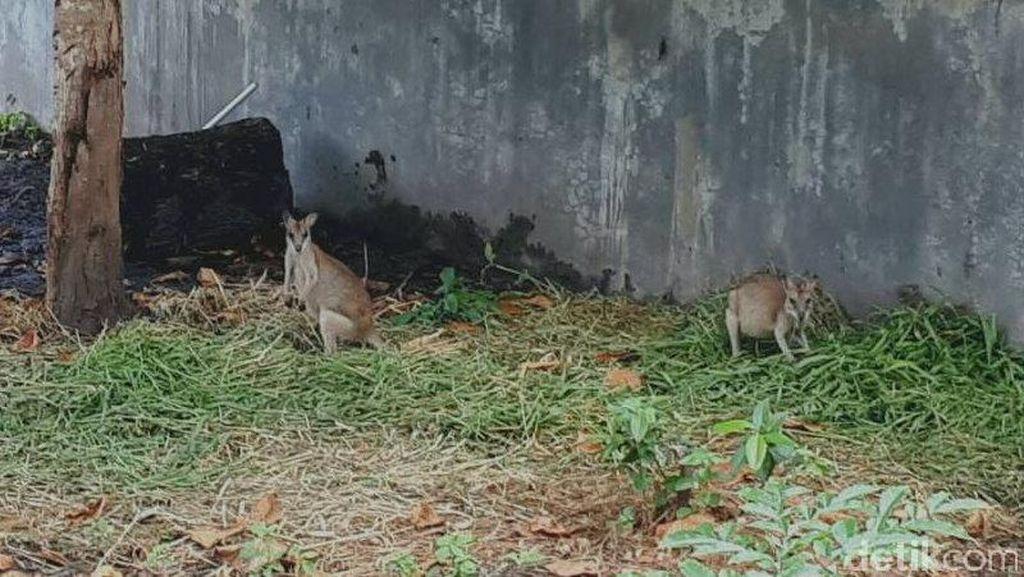 Ada Kanguru di Papua! Ini Penampakannya