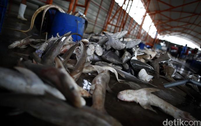 Maraknya Perdagangan Ikan Hiu di TPI Karangsong
