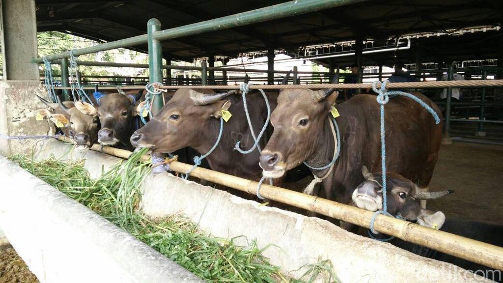 Kementan: Impor Sapi Bakalan di 2017 Baru Terealisasi 111.886 Ekor