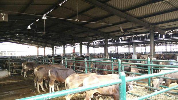 Sapi Potong di Kandang PD Dharma Jaya