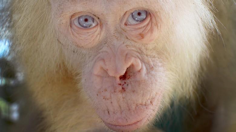 Kondisi Orangutan Albino di Kalimantan Membaik
