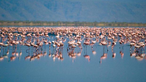Kawanan burung flamingo di Danau Natron (Thinkstock)