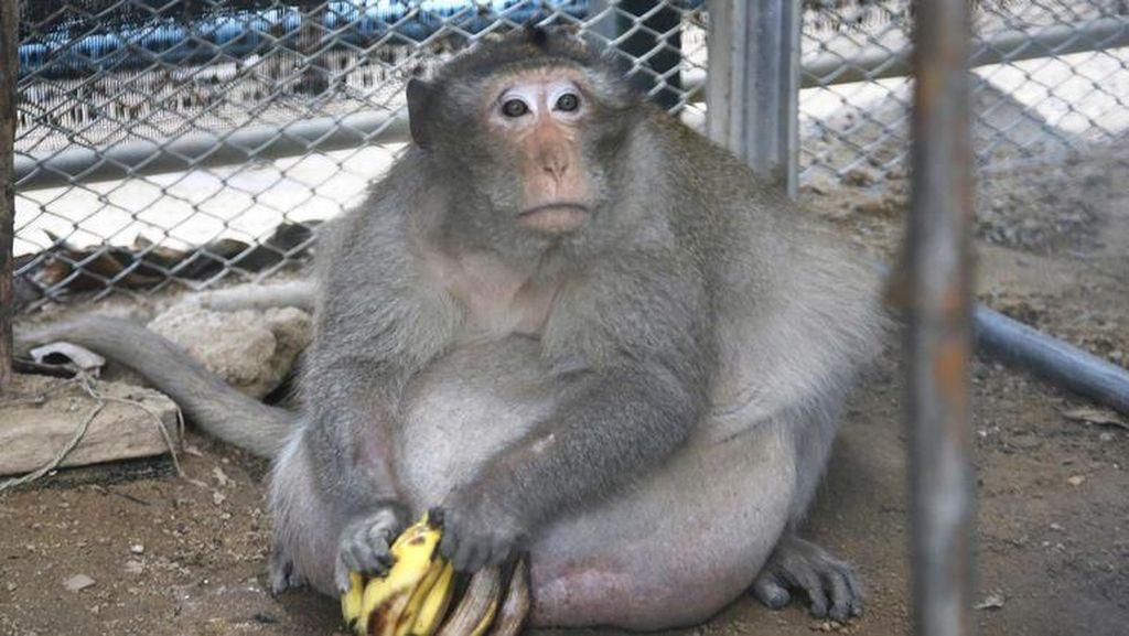Monyet Seberat 27 Kg Ini Alami Obesitas karena Diberi Makan Junk Food