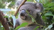 Selfie Bareng Kanguru dan Koala di Gold Coast
