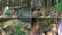 Bayi harimau ini menarik perhatian wisatawan (Muhajir/detikTravel)