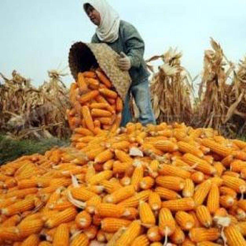 Pemerintah Targetkan 100.000 Ha Lahan untuk Jagung