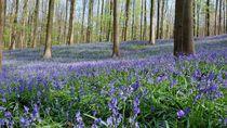 Hutan Berwarna Biru nan Cantik di Belgia