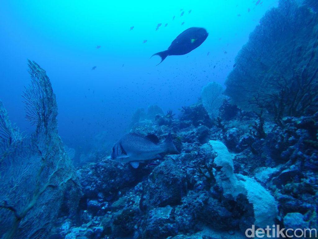 Diving di Arus Balee Sabang, Aceh (Bonauli/detikTravel)