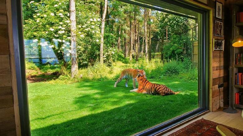 Penginapannya berada di dalam kandang harimau (aspinallfoundation.org)