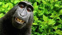 Cerita di Balik Hebohnya Monyet Selfie di Sulawesi