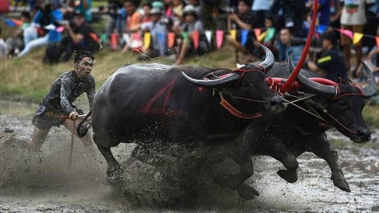 Suasana balapan sapi di Chonburi, Thainland (Lillian Suwanrumpha/ AFP)