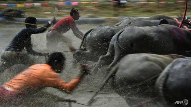 Untuk memenangkan balapan, para petani harus menunggang kerbaunya sampai ke garis finish(Lillian Suwanrumpha/ AFP)
