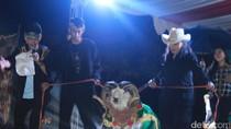 Serunya Aksi Domba Garut Saat Berjalan di Atas Catwalk