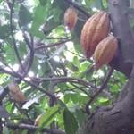 Industri Butuh Kakao 800.000 Ton/Tahun, Kementan: Baru Bisa di 2020