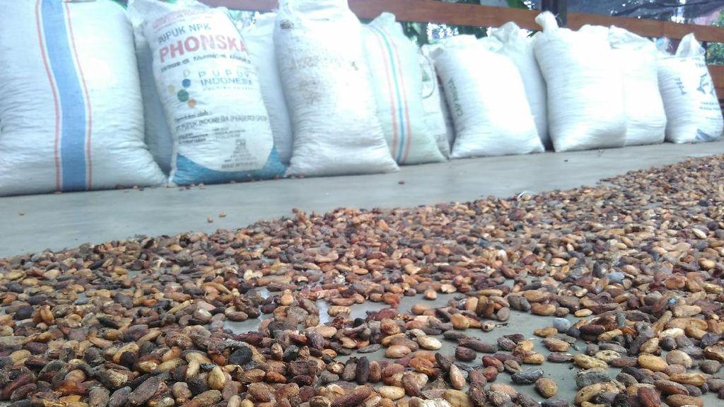 Kakao Blitar Laris Hingga ke Malaysia dan Singapura
