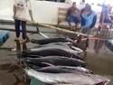 Volume Ekspor Tuna RI Disalip Papua Nugini