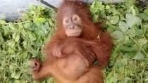 Mongki Lahirkan Mameh, Orangutan Cantik dari Aceh