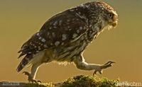 Bagaimana Cara Burung Hantu Melangkah? Foto Ini Menjawabnya