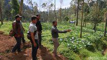 Ratusan Hektare Hutan Lindung di Pasirjambu Ditanami Sayuran