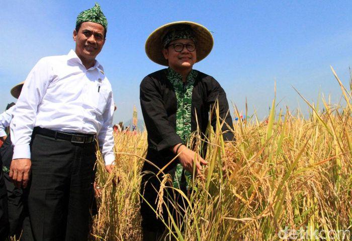 Amran dan Muhaimin panen padi di Kampung Sutam, Desa Sumbersari, Kecamatan Ciparay, Kabupaten Bandung, Jawa Barat.