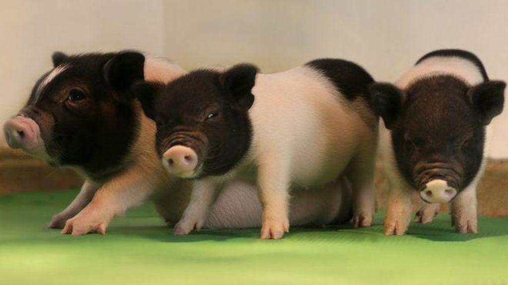 Ini Dia Babi Rekayasa Genetik Pertama untuk Transplantasi Manusia