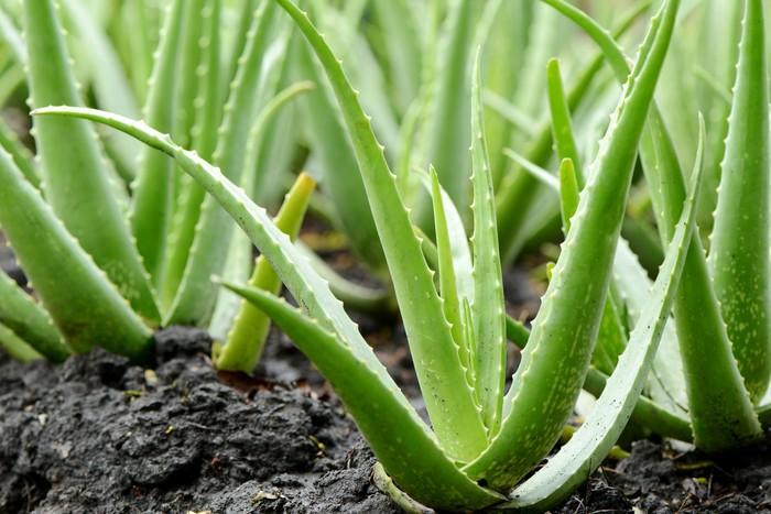 Aloe Vera atau lidah buaya termasuk salah satu tanaman yang dicatat NASA meningkatkan persediaan oksigen di malam hari. Foto: Thinkstock