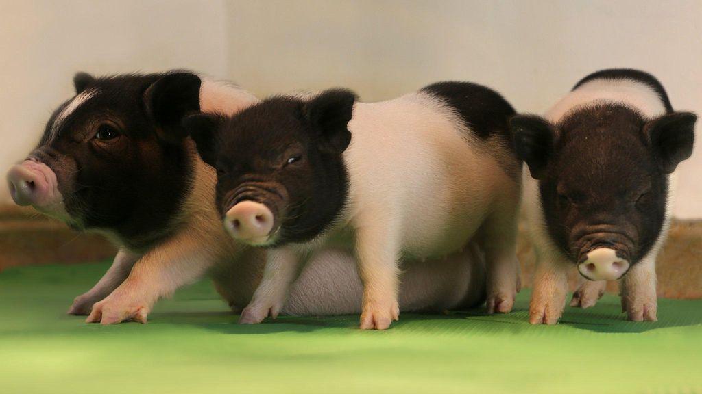 Peneliti Kian Dekat Wujudkan Babi Sebagai Pendonor Organ Manusia