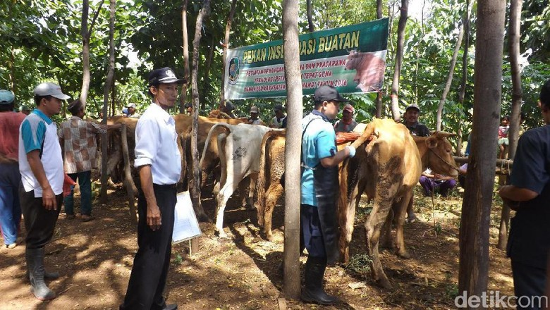 Jelang Idul Adha, Banyuwangi Buka Pelayanan Kesehatan untuk Ternak