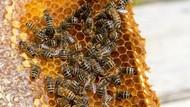 Kawanan Lebah Menyerbu Sebuah Rumah, Apa Jadinya?