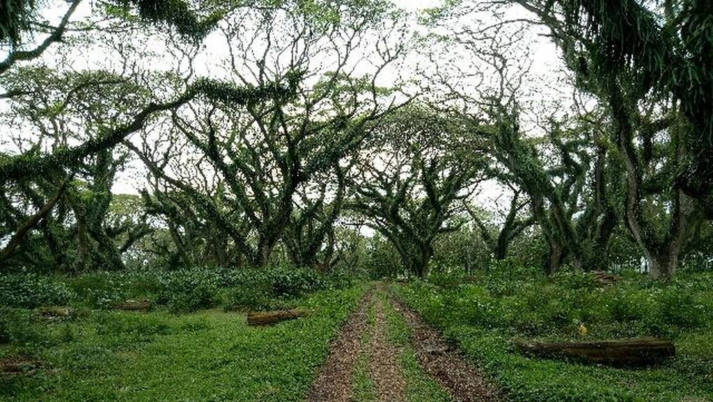 Foto: Kembaran Hutan Fangorn Lord of The Rings di Banyuwangi