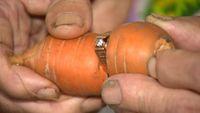Cincin yang hilang tersangkut di wortel.