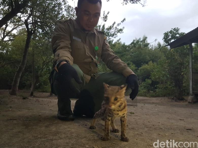 BKSDA Lepas Kucing Hutan yang Dilindungi di Pulau Dua Serang