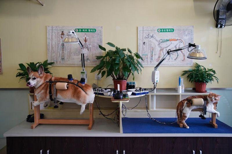 Para pemiliki hewan kini beralih menggunakan akupuntur untuk menenangkan rasa sakit dari hewan kucing dan anjing kesayangan mereka (Aly Song/Reuters)