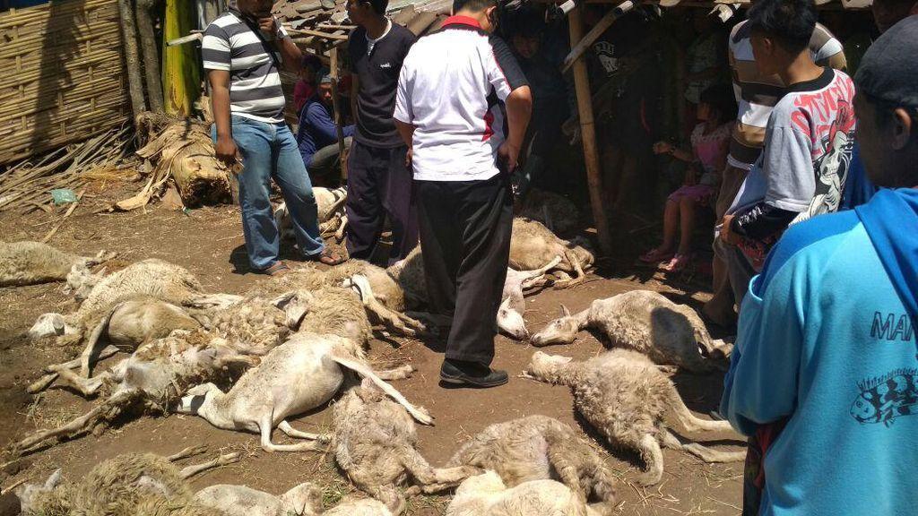 Foto: Kambing Diduga Diserang Anjing Jadi-jadian di Probolinggo