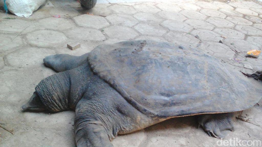 Kura-kura Penghuni Cisangkuy yang Dimakan Warga Tidak Dilindungi