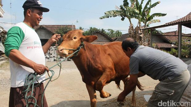yasmudi warga Magelang, tukang pijat sapi