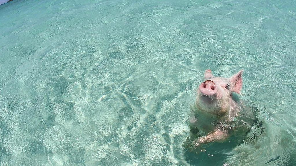 Foto: Pantai Ini Penuh... Babi