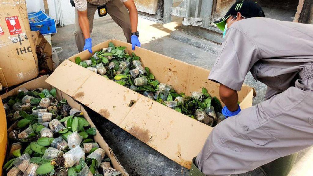 Ada Bakteri, Bibit Anggrek Impor dari Filipina Dimusnahkan