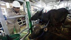 Ada Kapal Ternak, Harga Sapi NTT Lebih Murah Dibanding Impor