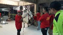 Sapi Kurban Presiden Jokowi di Surabaya Dinyatakan Sehat