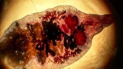 Beberapa hewan kurban dilaporkan terjangkit oleh cacing hati. Parasit ini bisa menyerang hewan dan juga manusia menyebabkan penyakit fascioliasis.