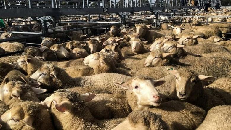 RPH di Australia Sibuk Kirim Daging Kurban ke Luar Negeri