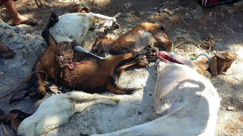 Lagi, 12 Kambing di Gunungkidul Mati Diserang Hewan Liar