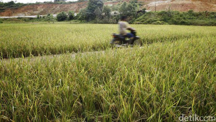 Foto: Sawah di Semanget, Entikong (Rachman Haryanto/detikcom)