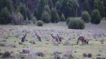 Upaya Mengendalikan Populasi Kanguru dengan Memakan Dagingnya